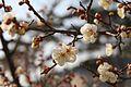 Prunus mume 6.jpg