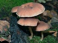 Psathyrella piluliformis G6.jpg