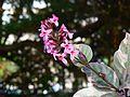 Pseuderanthemum atropurpureum (574496239).jpg
