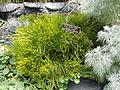 Psilotum nudum - United States Botanic Garden - DSC09541.JPG