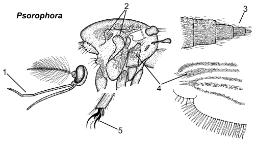 Psorophora thorax parts.png