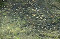 Pstrągi w fosie.jpg