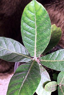 <i>Psychotria loniceroides</i> Species of tree