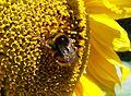 Pszczoła i słonecznik.jpg