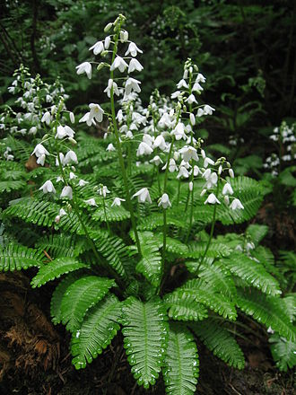 Papaveraceae - Pteridophyllum racemosum