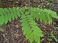 Pterocarya rhoifolia Japaninsiipipähkinä HP6118 C.jpg