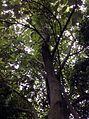 Pterospermum acerifolium.jpg