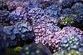Purple-hydrangea-blue - West Virginia - ForestWander.jpg