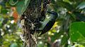 Purple rumped Sunbird (Leptocoma zeylonica) building its nest 02.jpg