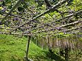Purple wisteria and yaefuji in Kawachi Wisteria Garden 20150509.JPG