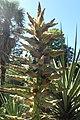 Puya alpestris kz04.jpg