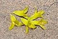 Puya chilensis Zapallar 08.jpg