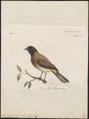 Pycnonotus tristis - 1796-1808 - Print - Iconographia Zoologica - Special Collections University of Amsterdam - UBA01 IZ16400009.tif