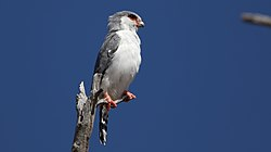 Pygmy falcon, or African pygmy falcon, Polihierax semitorquatus, at Kgalagadi Transfrontier Park, Northern Cape, South Africa. (34128951520).jpg