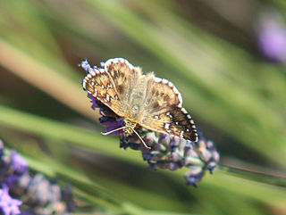 Cinquefoil skipper Species of skipper butterfly genus Pyrgus