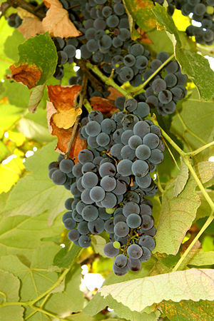 Azerbaijani wine - Pinot noir has been widely used throughout Azerbaijan for wine-making