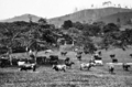 Queensland State Archives 236 Illawarra Dairy Cattle on Mr G Grevetts farm at Kin Kin c 1931.png