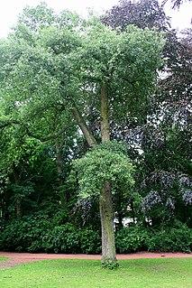<i>Quercus</i> × <i>hispanica</i> Hybrid species of oak tree