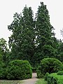 Quercus robur 'Fastigiata' Syrets2.JPG