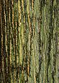 Quercus rubra - cortex.jpg