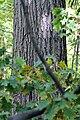 Quercus rubra SCA-8084.jpg