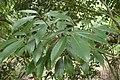 Quercus sessilifolia kz01.jpg