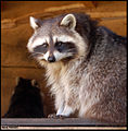 Raccoon (4388957747).jpg