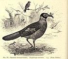 Рисунок птицы с темной спиной и решетчатым низом, идущей по земле с большим насекомым в клюве