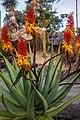 Rainbow lorikeet and Aloe sp Brisbane Botanic Gardens Mt Coot-tha IMGP3980.jpg