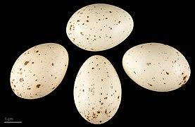 Rallus aquaticus MHNT.ZOO.2010.11.66.1.jpg