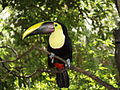 Ramphastos swainsonii -Jacksonville Zoo-8a.jpg