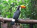 Ramphastos toco -Parque das Aves, Brazil-8a (1).jpg