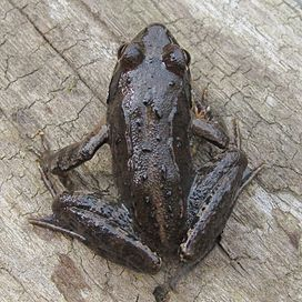Raninae Rana R ornativentris Montane brown frog.jpg