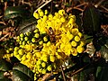 Ranunculales - Berberis sp. - 7.jpg