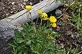 Ranunculus acris in Jardin Botanique de l'Aubrac 06.jpg