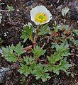 Ranunculus glacialis Kilpisjarvi 2012-07a.jpg