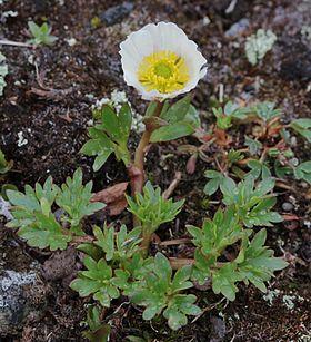 Un ejemplar de ranunculus glacialis planta ártica