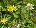 Ranunculus peduncularis - Flickr - Dick Culbert.jpg