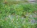 Ranunculus sceleratus.jpeg