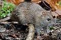 Rat (49151866592).jpg