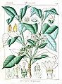 Rauvolfia verticillata Govindoo.jpg