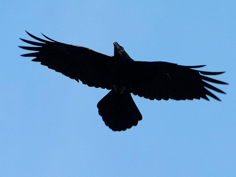 Raven Soars Over Montserrat - from https://commons.wikimedia.org/wiki/File:Raven_Soars_Over_Montserrat_(95253211).jpeg