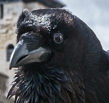 Ravencloseup (Munin at London tower), zoomed POTY 2016.jpg
