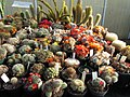 Rebutia species (3644636825).jpg