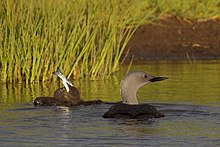 Two small fuzzy blackish chicks—one swallowing a silver fish—float on water beside a larger bird with a black back and grey neck.