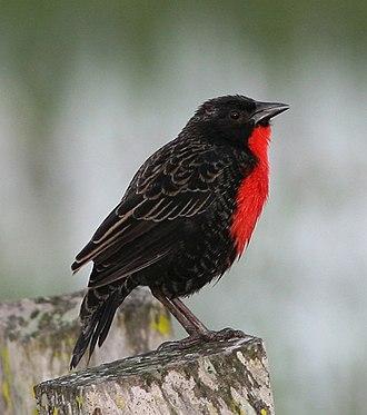 Meadowlark - Red-breasted meadowlark (Leistes militaris)