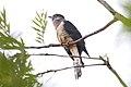 Red-chested Cuckoo (Cuculus solitarius) (46495971942).jpg