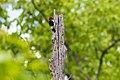 Red-headed woodpecker (26178055734).jpg
