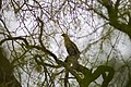 Red-shouldered hawk (31970362547).jpg