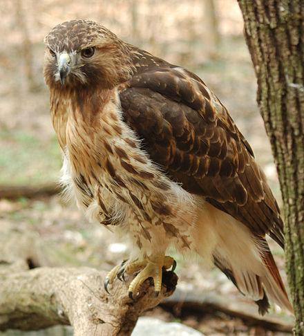 Red-tailed hawk, one of the bird species found in Central Park Red-tailed Hawk Buteo jamaicensis Full Body 1880px.jpg